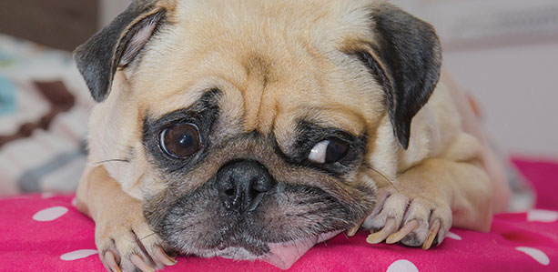 Kennel Cough in Pets