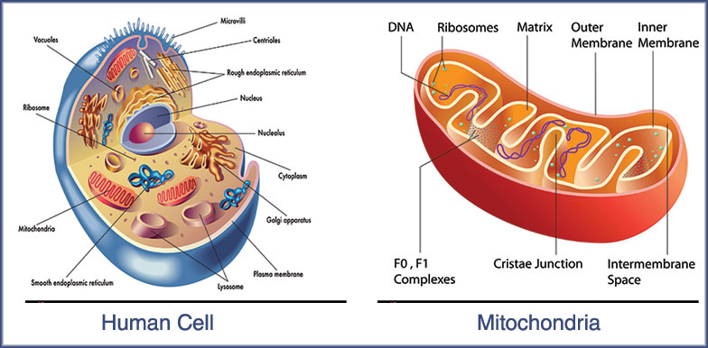 Aging and the Mitochondria
