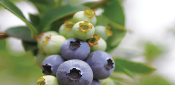 Blueberry Leaf & Weight Loss Gene Bruno