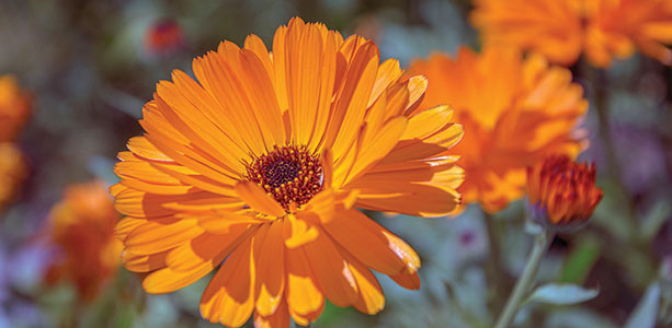 Calendula and Vagical for Skin Conditions and Vaginal Atrophy
