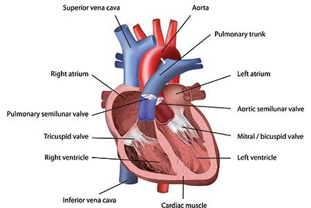 Cardiovascular System 101 | Cardiovascular Health | Articles ...