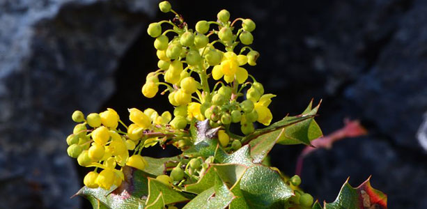 Berberine Offers Hope for Diabetes, Herpes and Brain Injuries