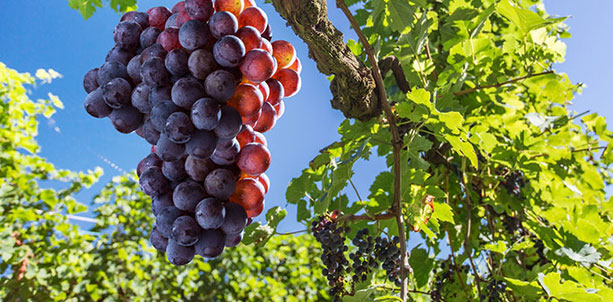 Antioxidant Foods Grape Seed Extracts