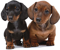 Pet Health Ear Mites, Scabies and Mange