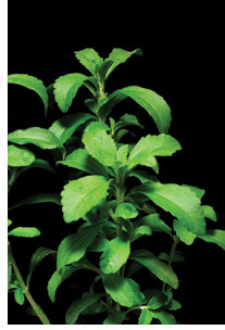 Stevia A Sweet Source of Controversy