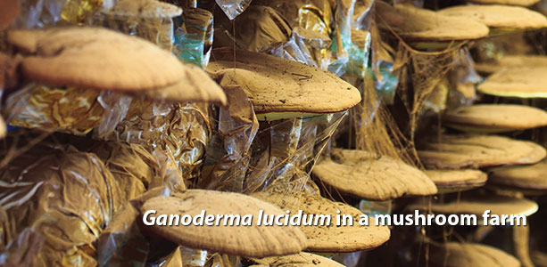 Ganoderma lucidum in a mushroom farm Dallas Clouatre